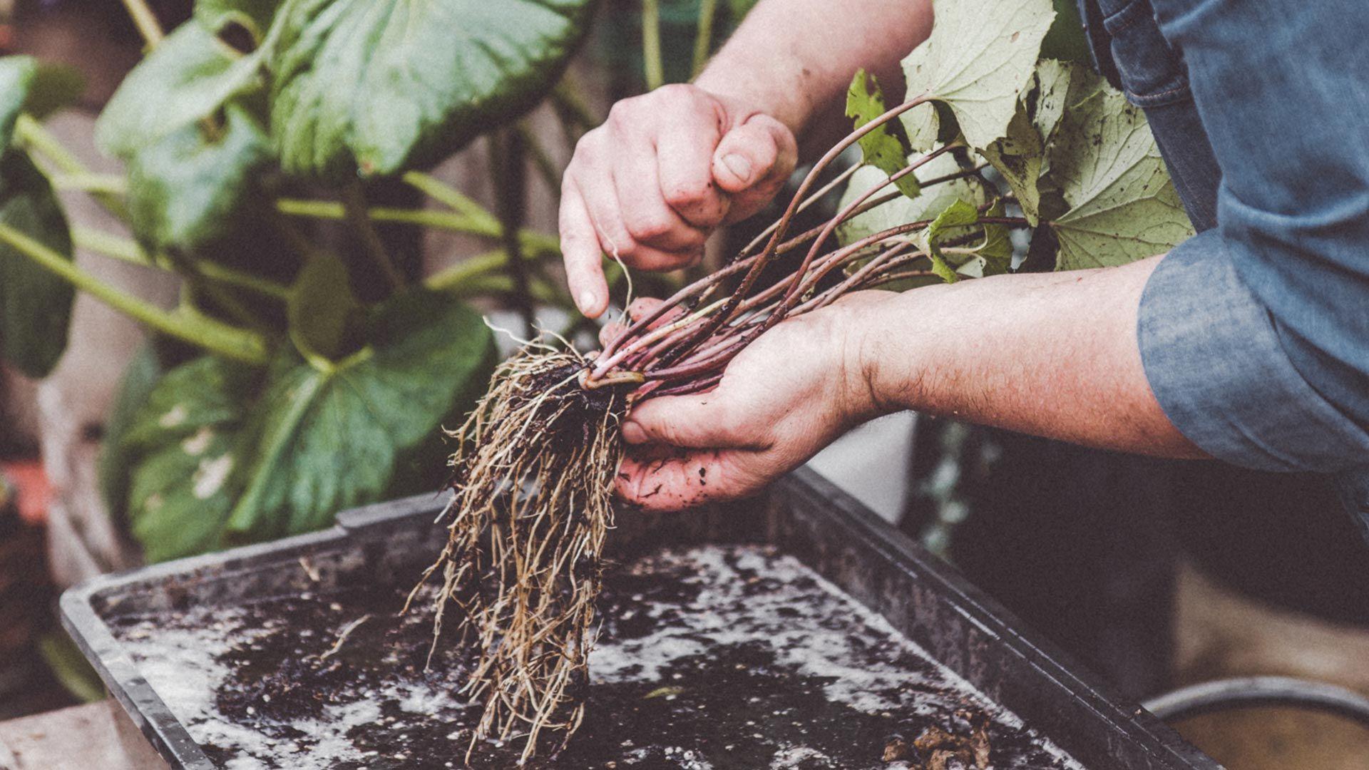 Multiplicar plantas vivaces por división de mata