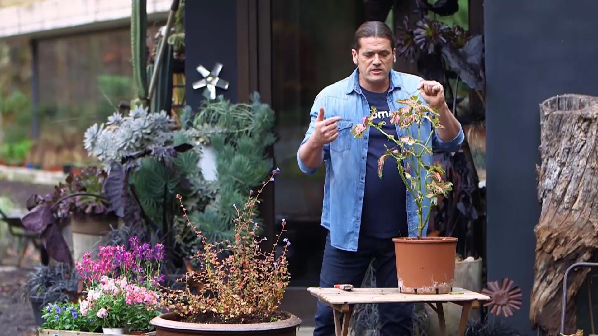 ¿Por qué se caen las hojas a un coleo al meterlo dentro de casa?