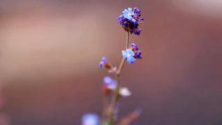 La Cerastostigma o Cerato, la planta de la Flor de Bach