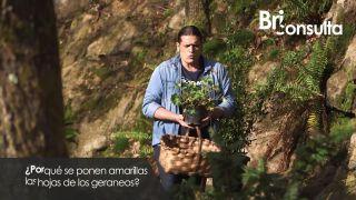 ¿Por qué se ponen amarillas las hojas de los geranios?