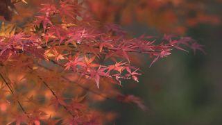 Arces japoneses obtenidos por semilla