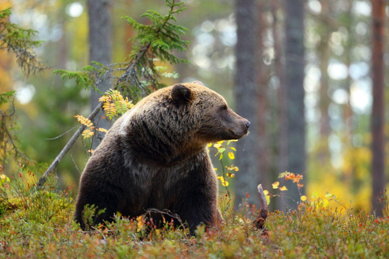 El oso, uno de los animales más representados en Carnaval.
