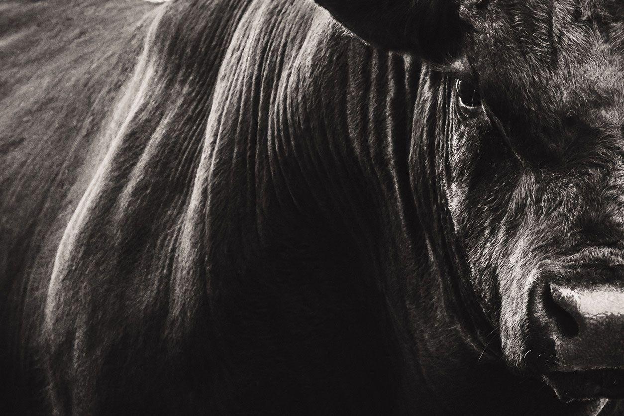 Toro, un animal muy representado en Carnaval.
