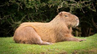 ¿Sabes qué es el carpincho? ¡Es el roedor más grande del mundo!