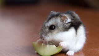 El idioma de los Hámster: aprende a entender lo que tu roedor quiere decirte