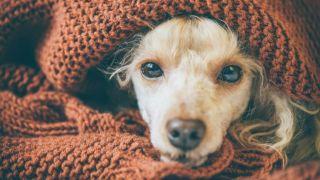 Cómo prevenir y tratar resfriados en perros