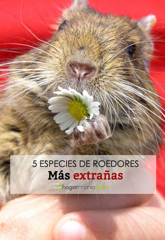 Las 5 especies de roedores más extrañas