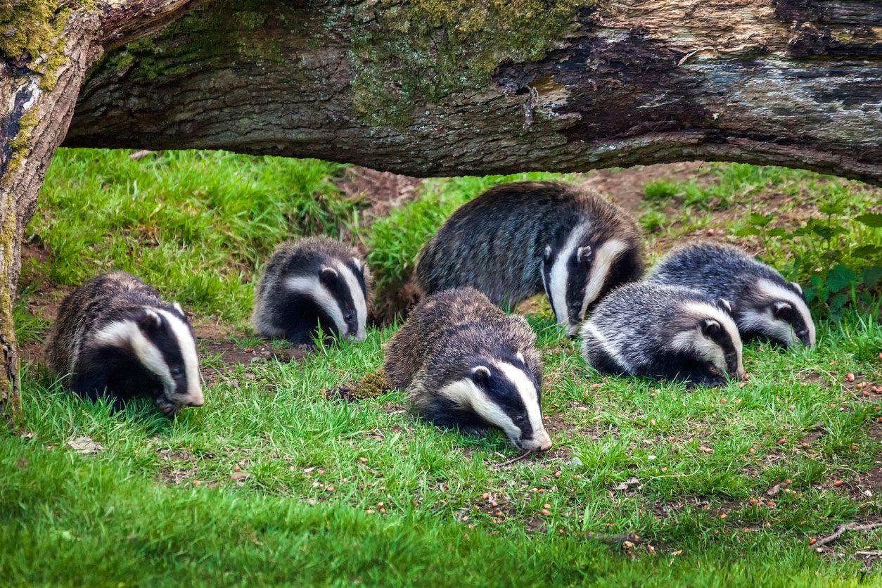 El tejón es un animal sociable y prefiere vivir en comunidad.