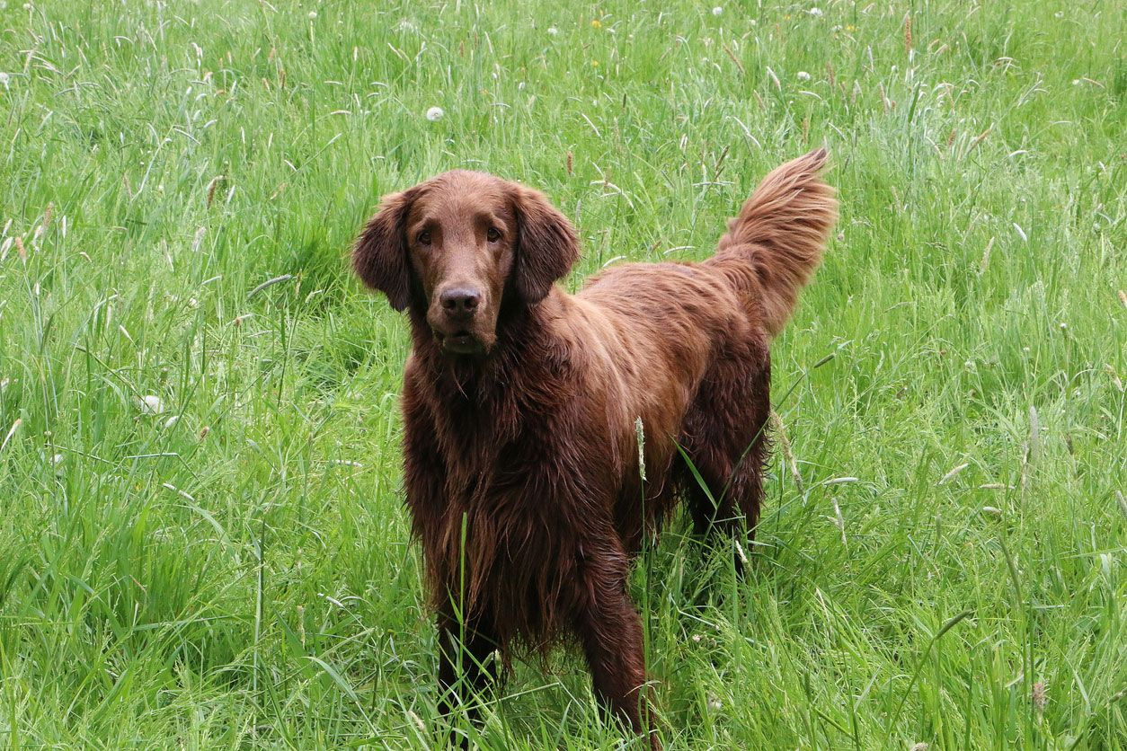 Flat Coated Retriever.