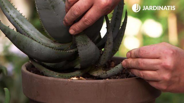 reproducir aloe vera mediante esquejes de hoja