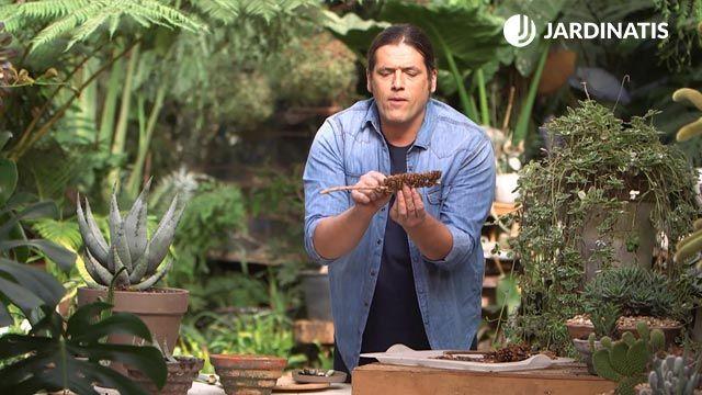 Reproducir aloe vera mediante semillas