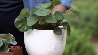 """Características de la  Begonia venosa y Begonia rex """"Red Ruby"""""""