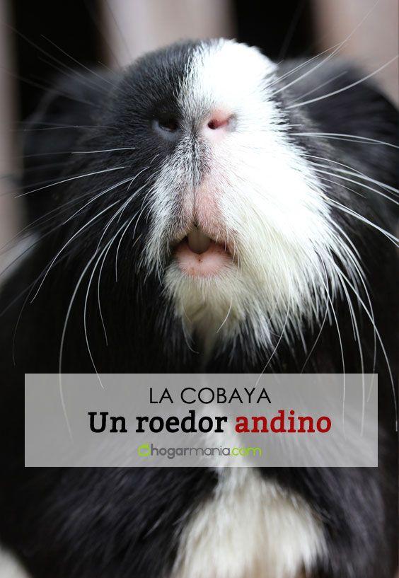 Cobaya, un roedor andino