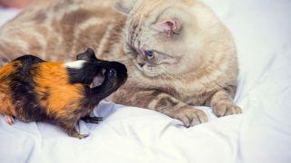 Gatos y pequeñas mascotas: ¿Pueden convivir con roedores, hurones o tortugas?