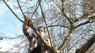 Prunus subhirtella 'autumnalis', el cerezo que florece en otoño e invierno