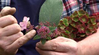 Hortensia magical en otoño