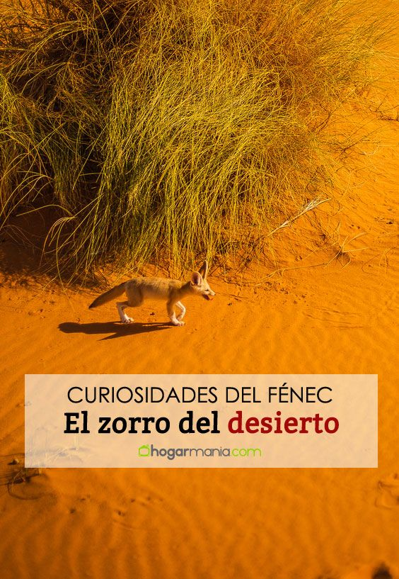 Fénec o zorro del desierto: un pequeño orejudo capaz de soportar temperaturas extremas