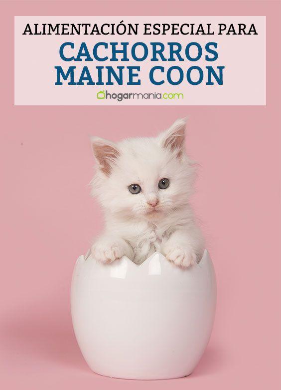 Maine Moon: Características y curiosidades