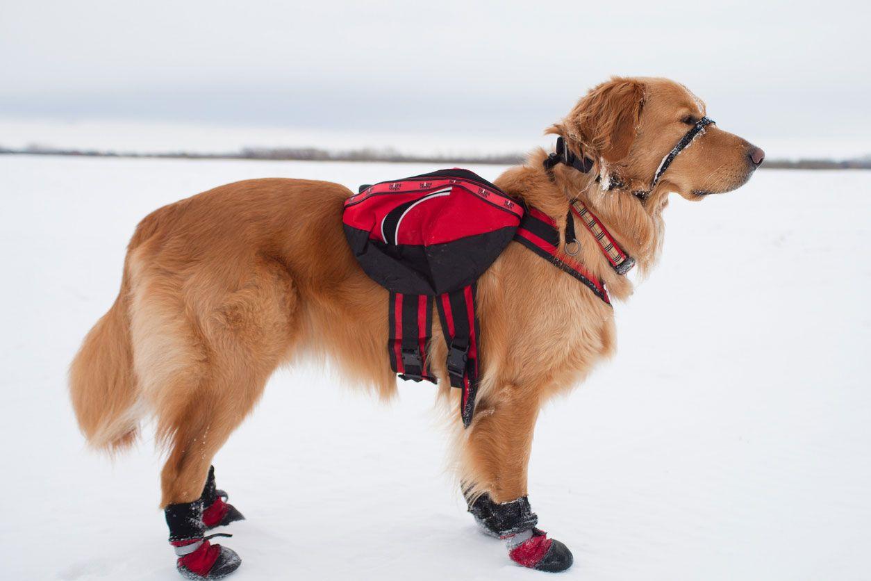 El Golden Retriever como perro de rescate.