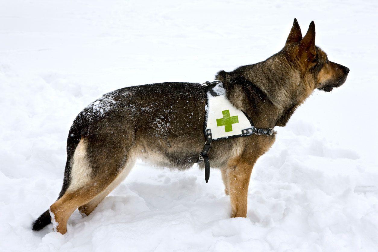 El pastor alemán es un auténtico héroe del rescate.