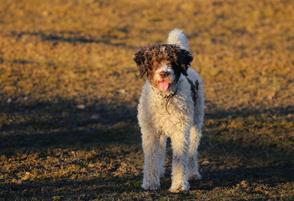 Perro de agua como perro de rescate