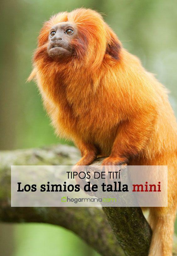 Monos tití: los simios más diminutos y populares