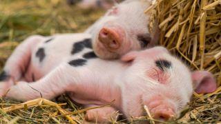 Un cerdo adulto tiene las capacidad cognitivas de un niño de tres años