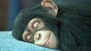 El chimpancé es el animal más inteligente.