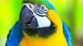 Su complejo sistema de vocalización le permite imitar los sonidos humanos.