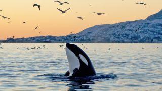 Las orcas pueden comunicar e interactuar entre ellas.