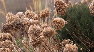 Poda de hortensias de sol