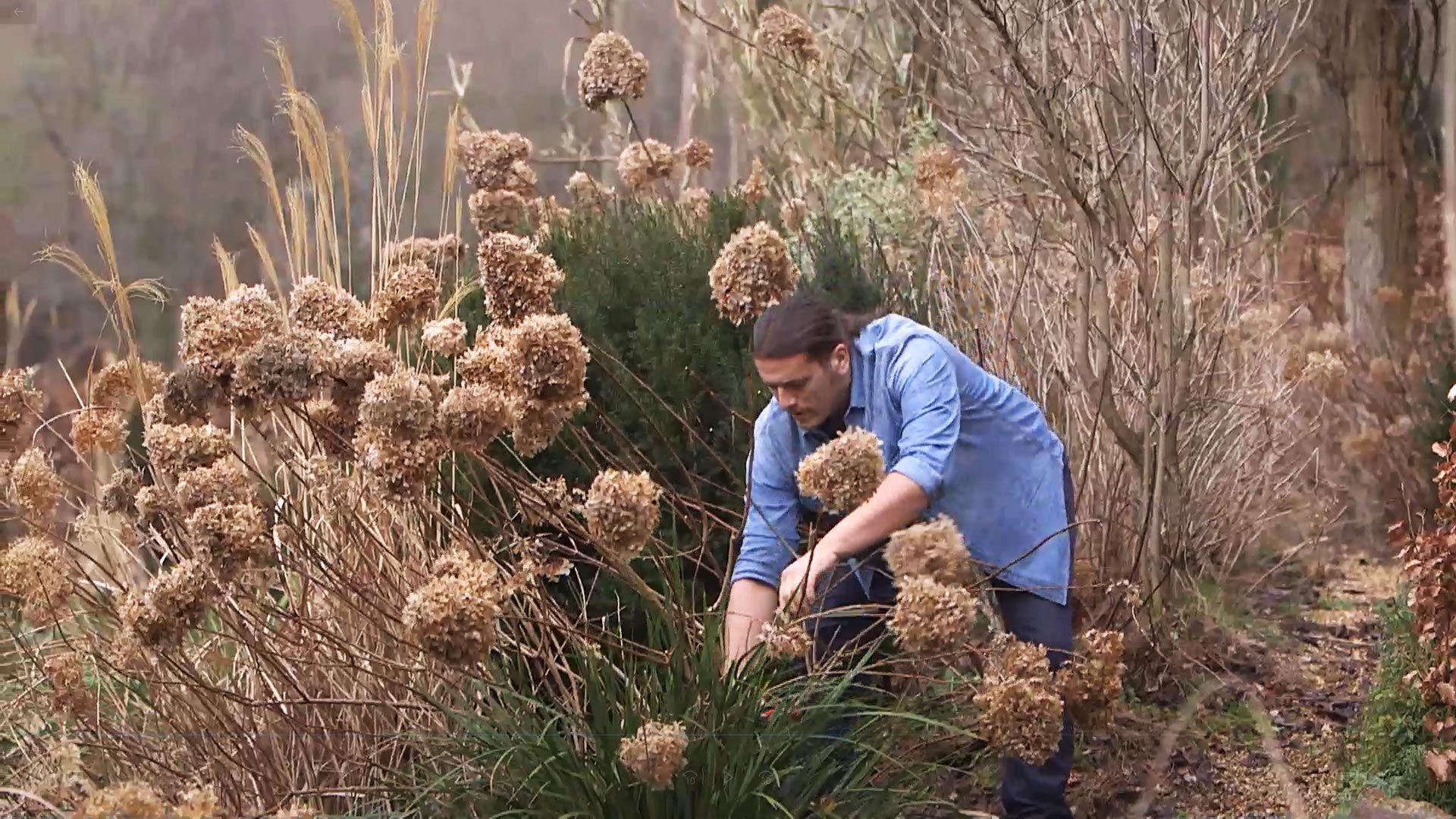 Cómo podar las hortensias de sol o paniculatas