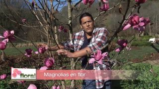 Magnolios en flor