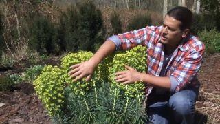 La Euphorbia characias, una de las primeras plantas vivaces en florecer
