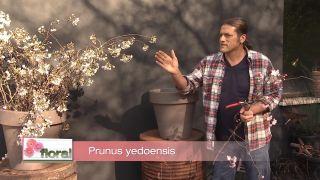 El Prunus 'Accolade', un cerezo de flor rosa
