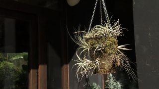 Composición con Tillandsias, los claveles del aire