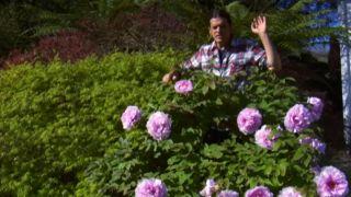 Peonía o Paeonia suffruticosa