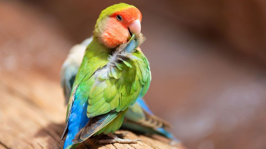 Agapornis acicalándose las plumas