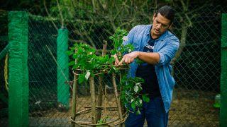 Cultivar frambuesas