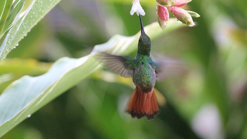 Colibrí volando