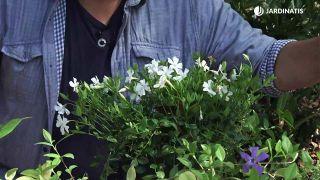 4 variedades de Vinca, una planta cubresuelos