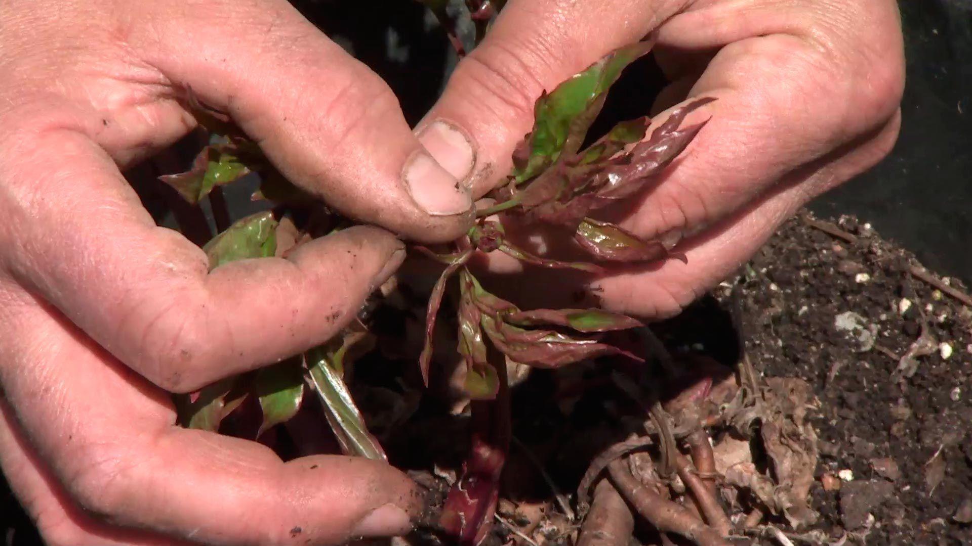 Peonías arbóreas, características y reproducción
