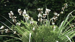 Composición floral en tonos blancos con Libertia