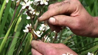 La Libertia, planta vivaz de flores blancas