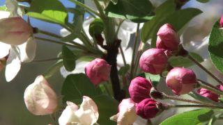 Manzano Malus Evereste en plena floración