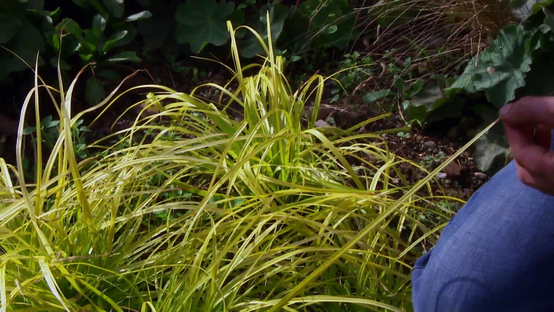 Carex everillo para el jardín