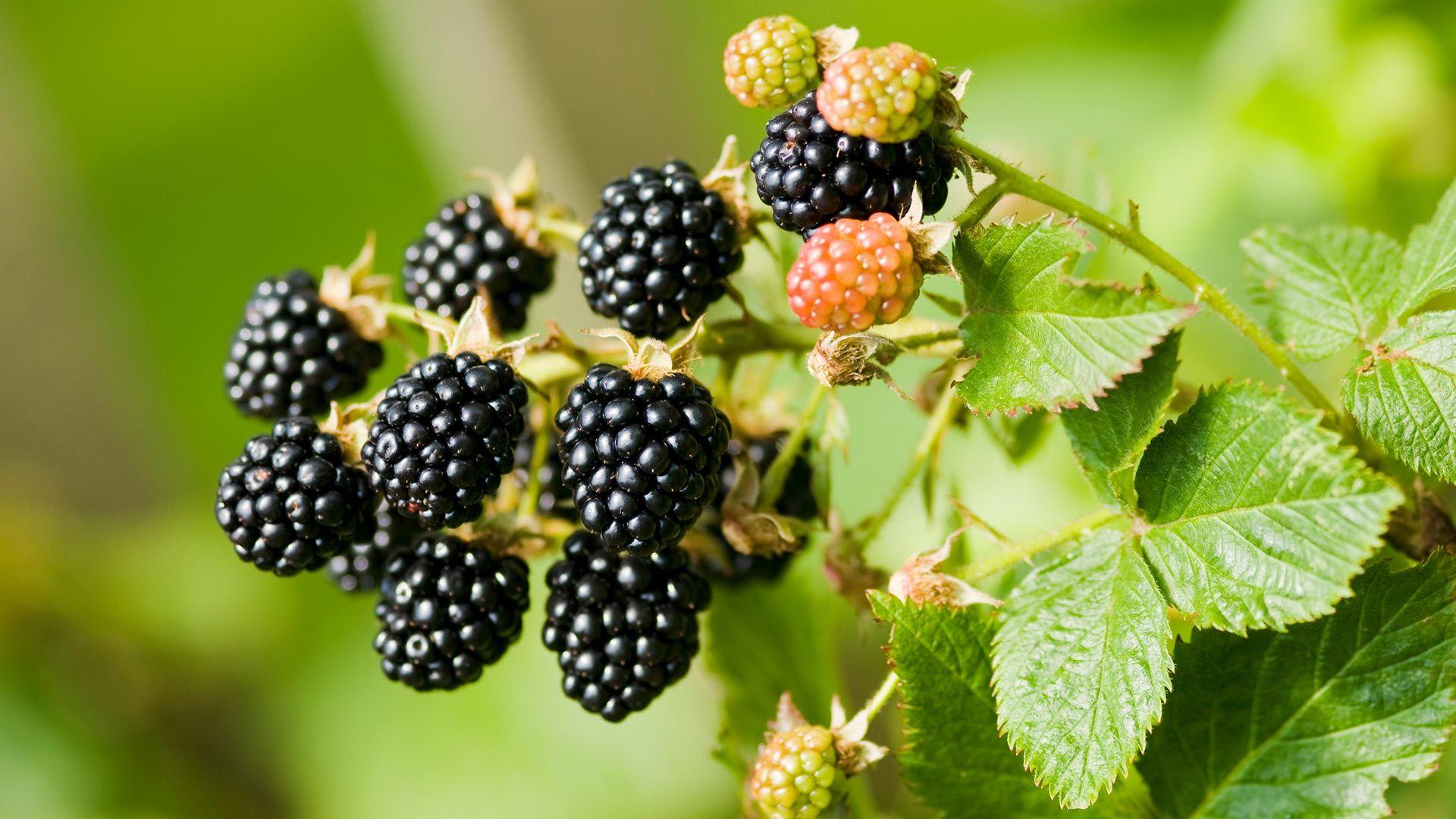 Zarzamora, cuidados y cultivo de la rubus fruticosus