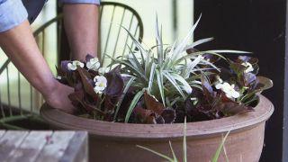 Astelia, planta de follaje grisáceo