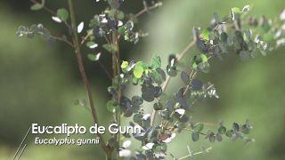 Composición grisácea con Acacia cultiformis y Eucalyptus gunnii