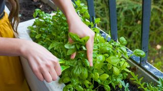 Cómo cultivar albahaca